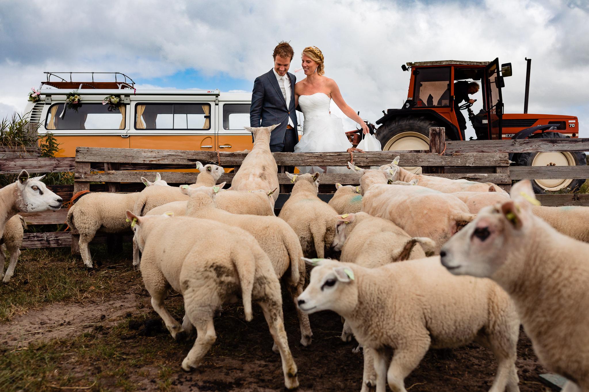 Bruidspaar probeert tussen de schapen door te lopen